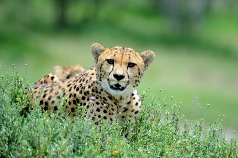 Female Cheetah - Ndutu